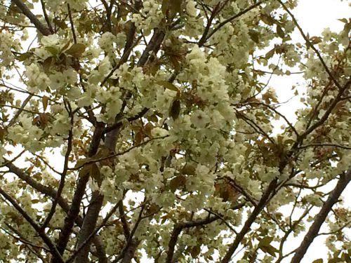 温泉街の御衣黄桜